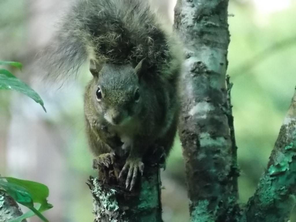 Eis o Alfred, esquilo que anda pela Pousada Sagarana / Divulgação
