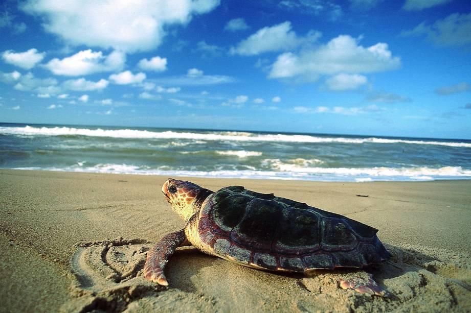 Tartaruga marinha na Praia do Riacho Doce, no Parque Estadual de Itaúnas (ES), que reúne dunas, manguezal, restinga, Mata Atlântica e alagados