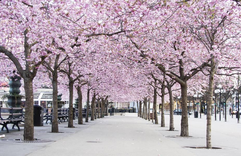 Cerejeitas em flor no Parque Kunsträdgården.
