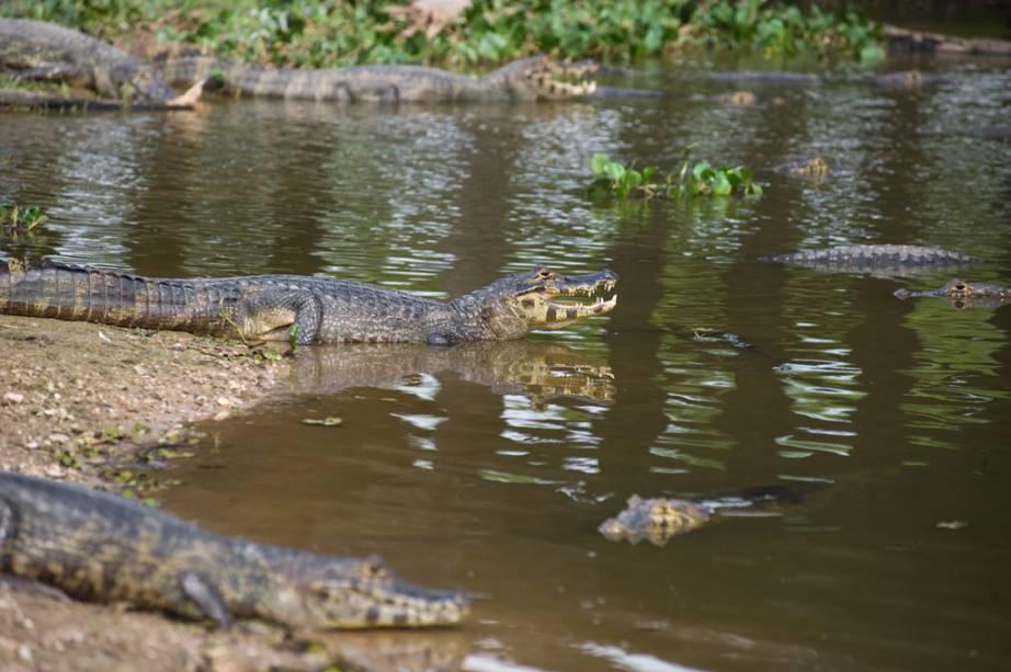 Jacarés no Estrada-Parque Pantanal (MS)
