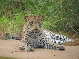 Guia do Safári na África do Sul- raio-X do Ngala Safari Lodge, serviço afiado e um ranger inesquecível