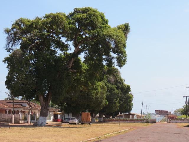 As incríveis mangueiras de Soure