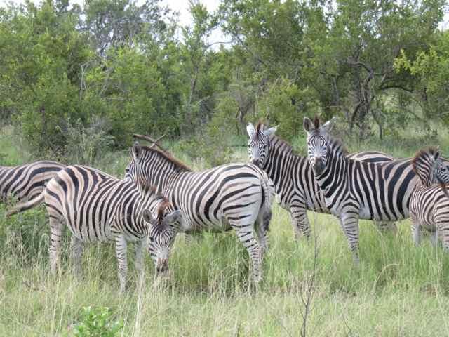 Zebras: presença garantida em qualquer lugar do parque