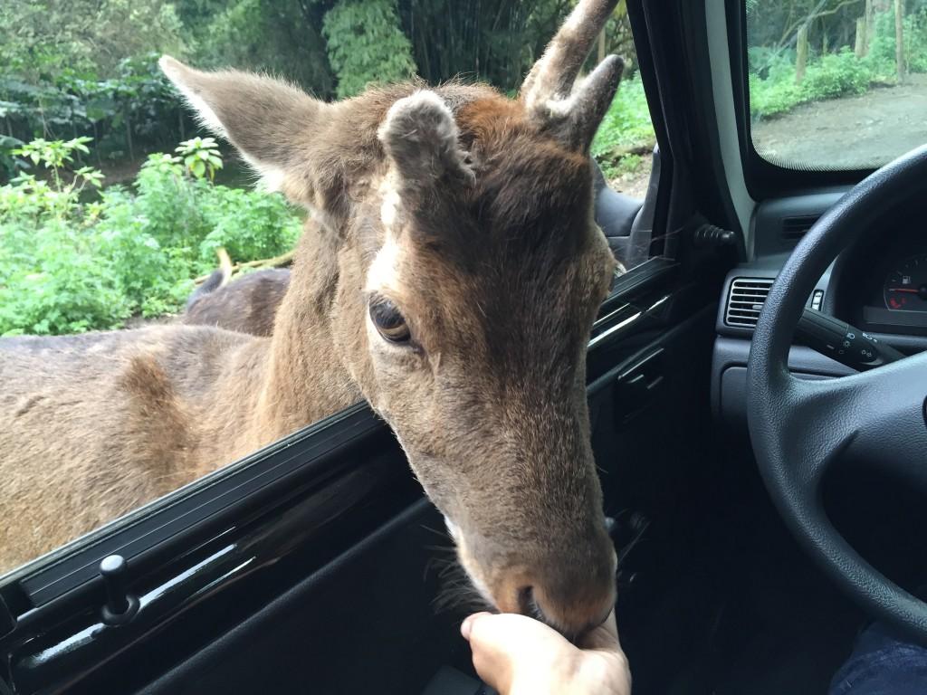 Os cervos colocam a cabeça pra dentro do carro sem medo (foto: Família Nômade)