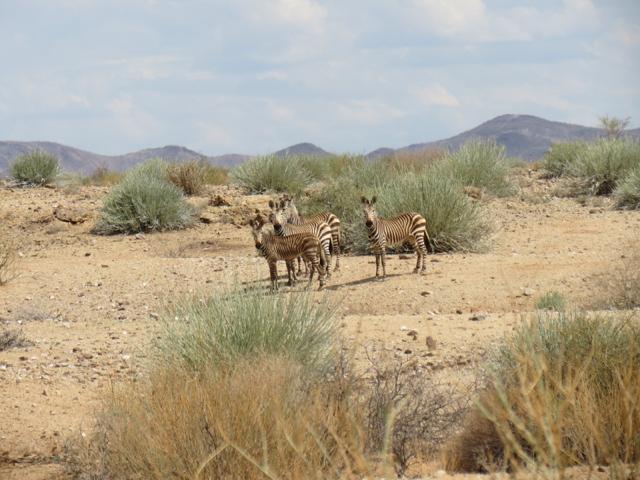 Zebrinhas perplexas nos arredores do Fish River Canyon