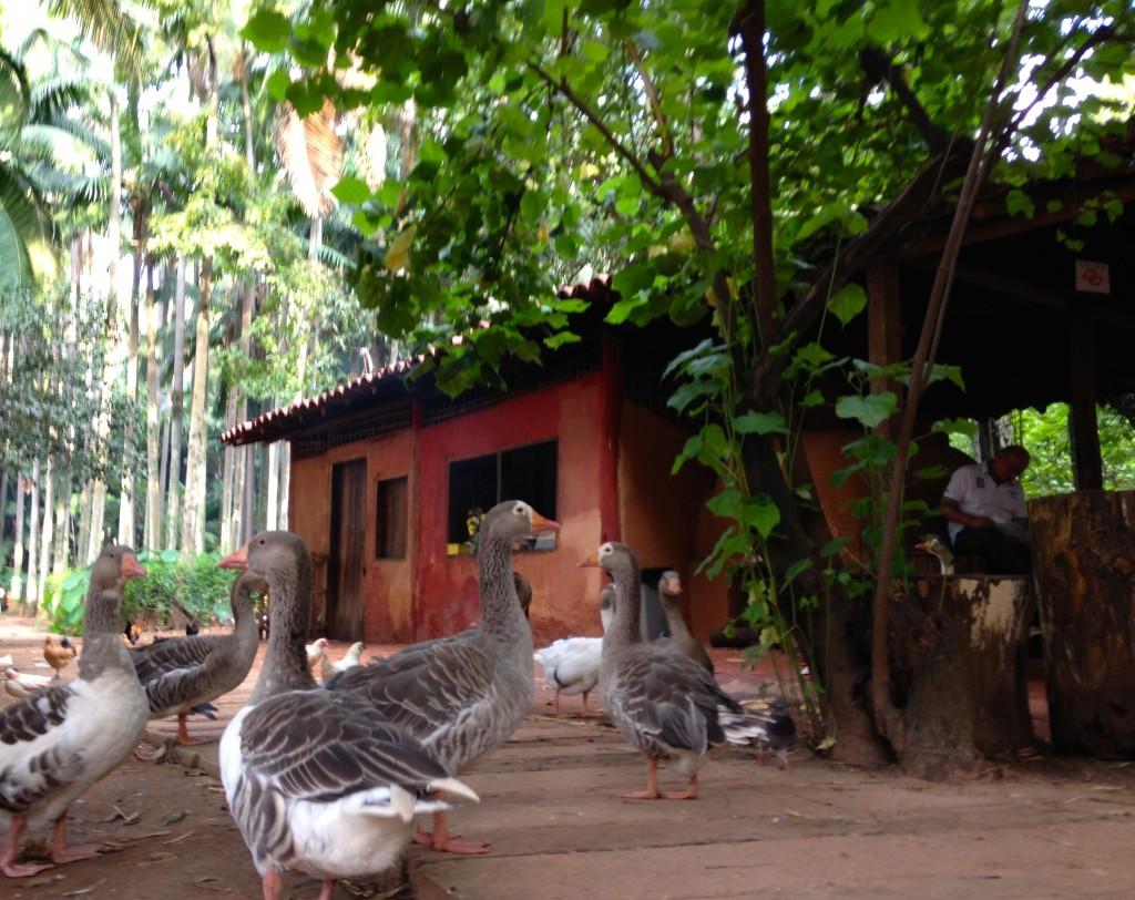 Os patos ficam em volta da Casa do Caboclo. (Foto: Família Nômade)