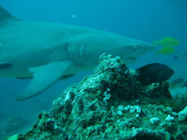 Booo, olha o tubarão touro aí, gente! (Juro que tirei essa foto sem zoom). Beqa Laggon: entre os melhores mergulhos do mundo