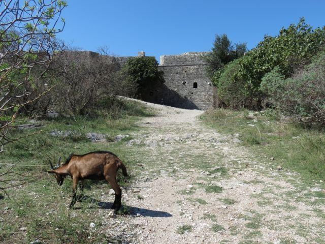 Cabra pastando na porta da fortaleza que, na Europa Ocidental, seria uma atração com fila na porta