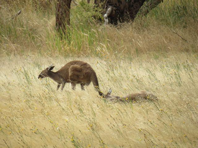 Ups! Pintou um canguru pelo caminho!