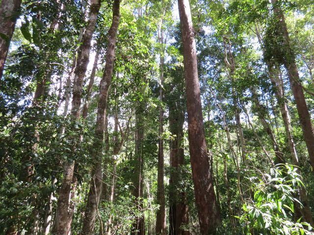 Inacreditável a altura das árvores numa ilha de areia pura