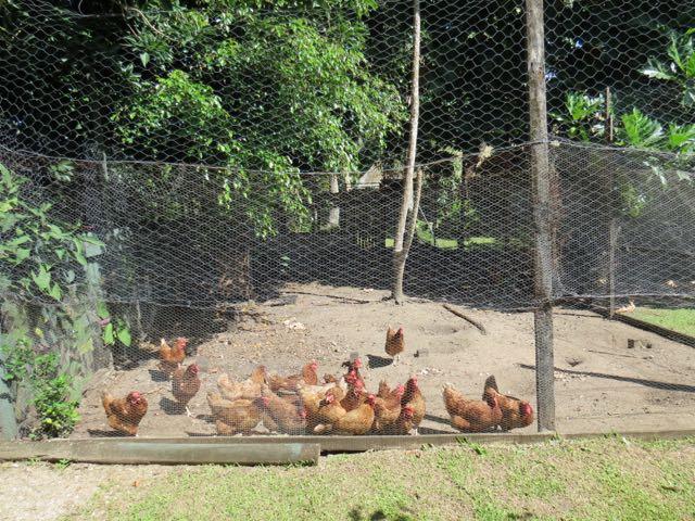 Até as galinhas são criadas ali mesmo...