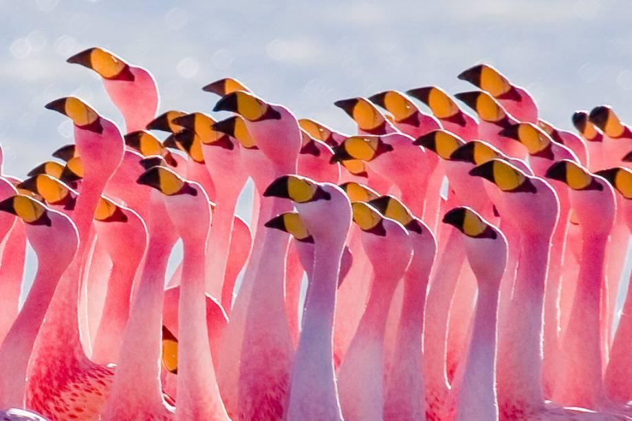 Flamingos são presença constante nas lagunas do altiplano boliviano; na foto, um bando se exibe na laguna Hedionda (que tem este nome porque exala um cheiro forte)