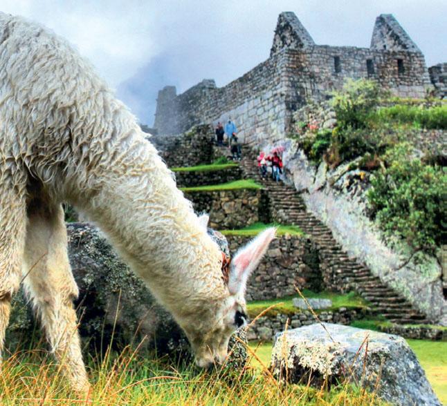 BEM NA FOTO: Lhama em Machu Picchu