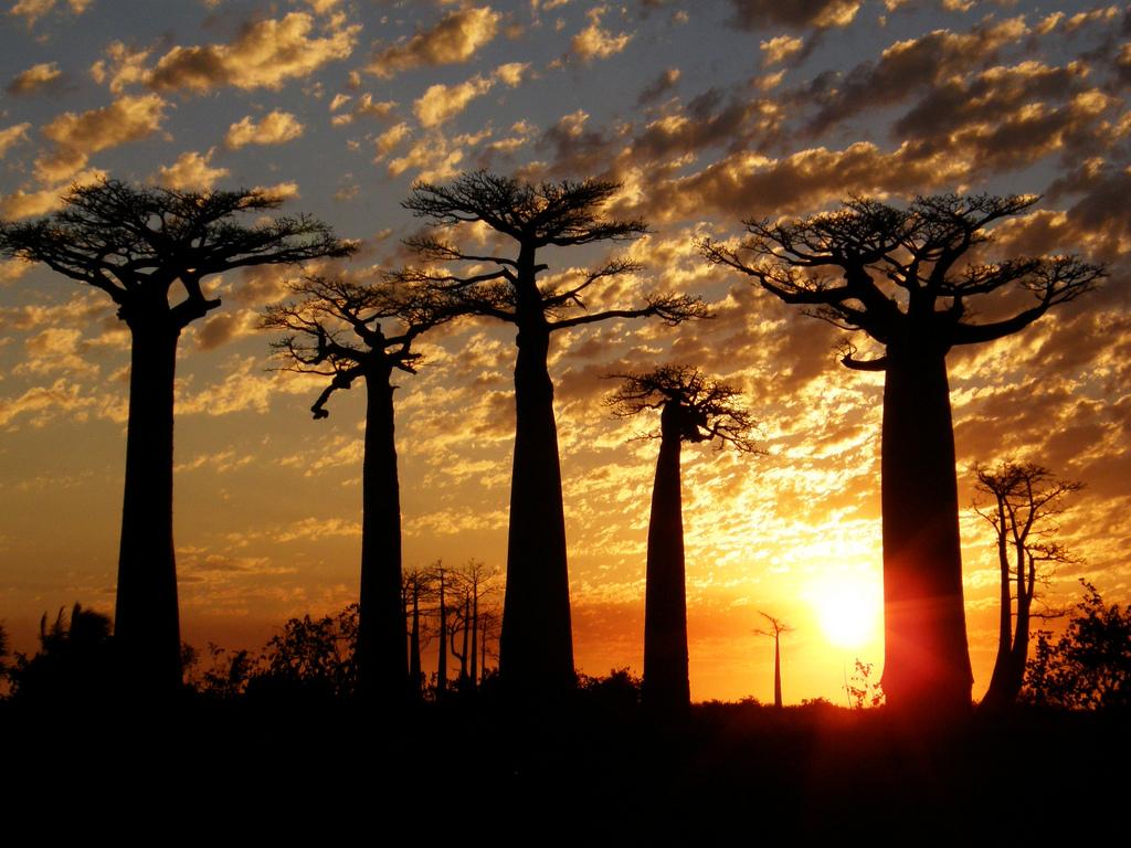 Baobás em Madagascar