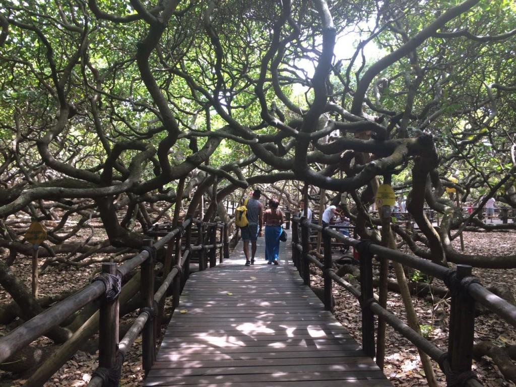 Ana aproveitou a calmaria para visitar um dos seres mais calmos do Rio Grande do Norte: o maior cajueiro do mundo (foto: Ana Claudia Crispim)
