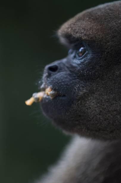 Floresta dos Macacos, Centro de Reabilitação dos Primatas, mantido pela Fundação Floresta Viva, na área do hotel Amazon Ecopark Jungle Lodge, Floresta Amazônica