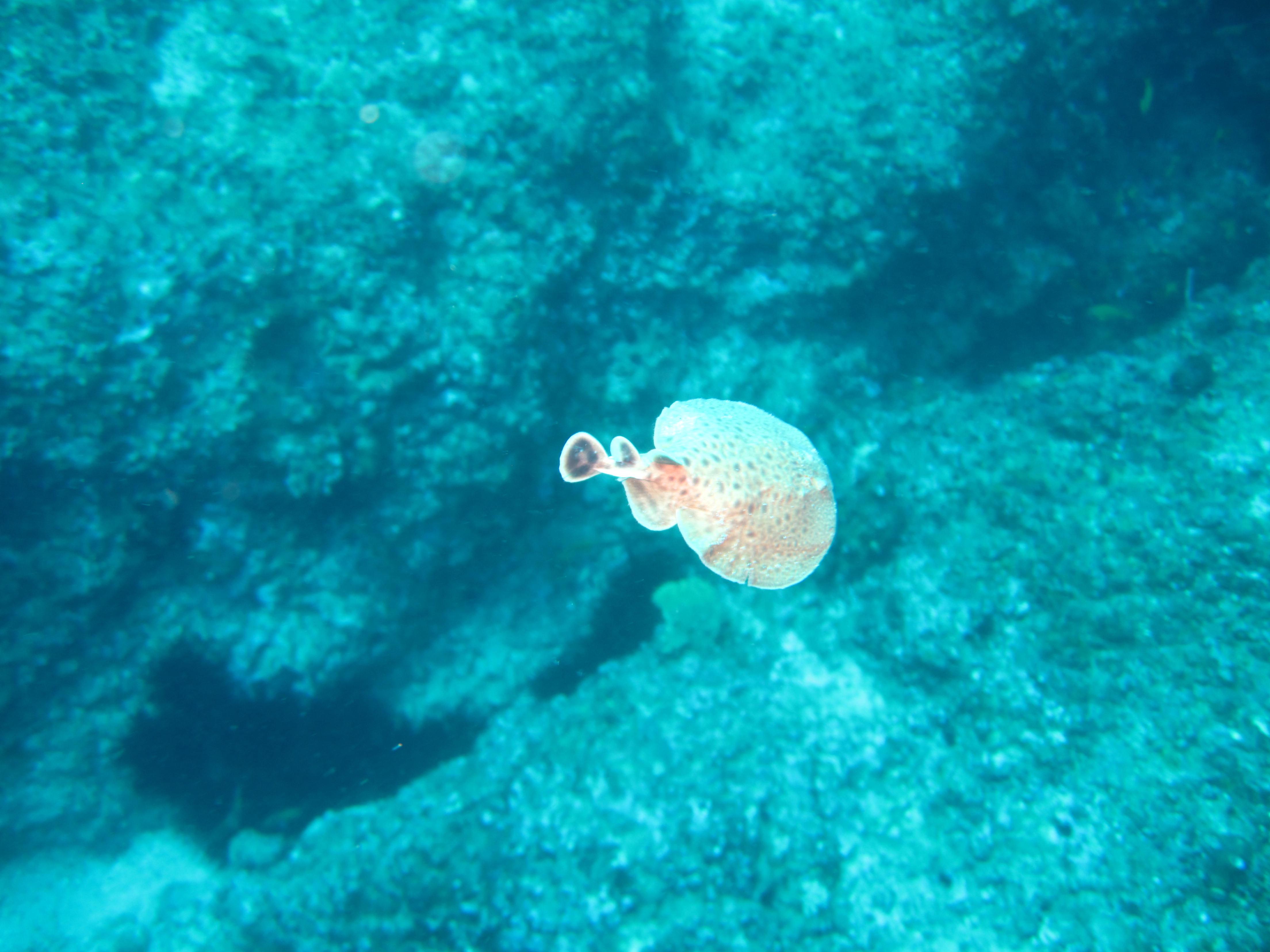 Arraia elétrica bebê nas águas turquesa do Oceano Índico: um dos melhores lugares do mundo para mergulhar
