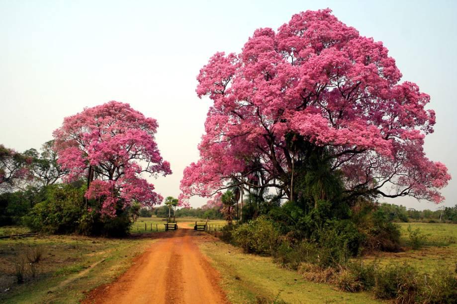 No final de julho, ou no começo de agosto, acontece um dos eventos mais marcantes do Pantanal (MT e MS). A Floração das Piúvas tinge a planície de rosa e deixa o lugar ainda mais belo
