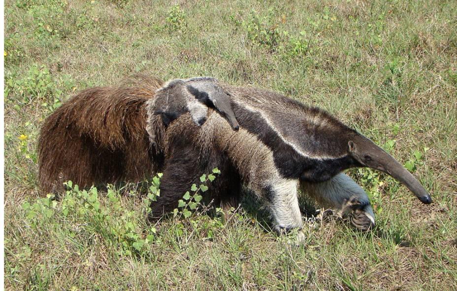 O tamanduá-bandeira recebeu seu nome devido ao seu grande rabo, que lembra uma bandeira. Quando vai dormir, o bicho o usa como um cobertor. O filhote é carregado nas costas da mãe, onde fica protegido contra predadores, enquanto vagam procurando alimento. A estação da seca, entre julho e setembro, é a melhor época para se observar mamíferos no Pantanal (MT e MS)
