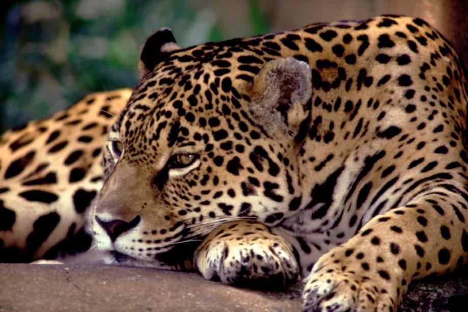 A onça-pintada possui a mordida mais forte entre os felinos, capaz de quebrar cascos de jabuti com facilidade. É o animal mais desejado pelos turistas que visitam o Pantanal (MT e MS)