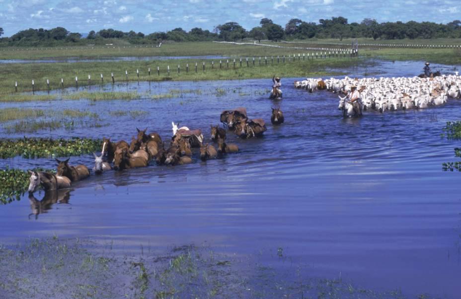 Durante a estação das cheias no Pantanal (MT e MS), os peões precisam mover o gado para lugares mais elevados. Os animais selvagens fazem a mesma coisa. Por isso a temporada de seca é melhor para a observação de fauna