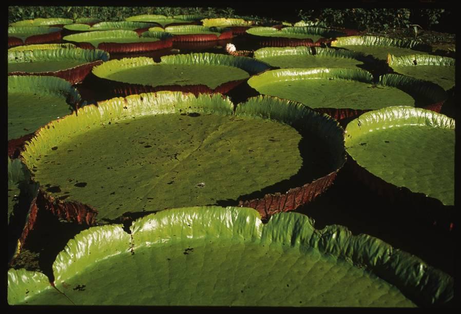 Planta típica da Amazônia, a vitória-régia também pode ser encontrada no Pantanal Norte (MT)