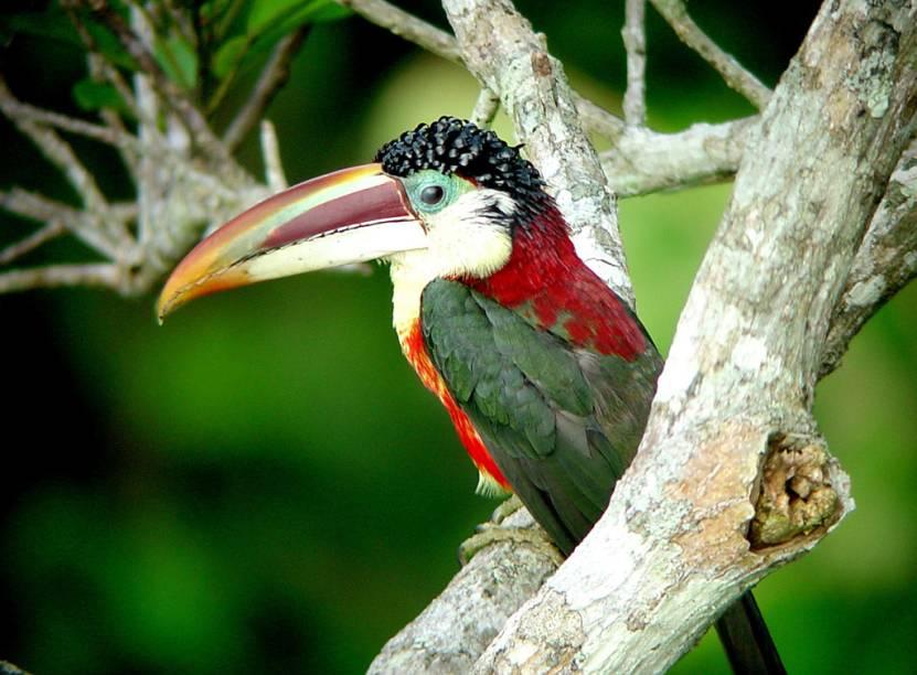 Encontrado somente na Amazônia, o araçari-mulato é uma das aves que atrai observadores de aves para o Estado de Mato Grosso. A viagem pode ser estendida para conhecer o Pantanal e a Chapada dos Guimarães