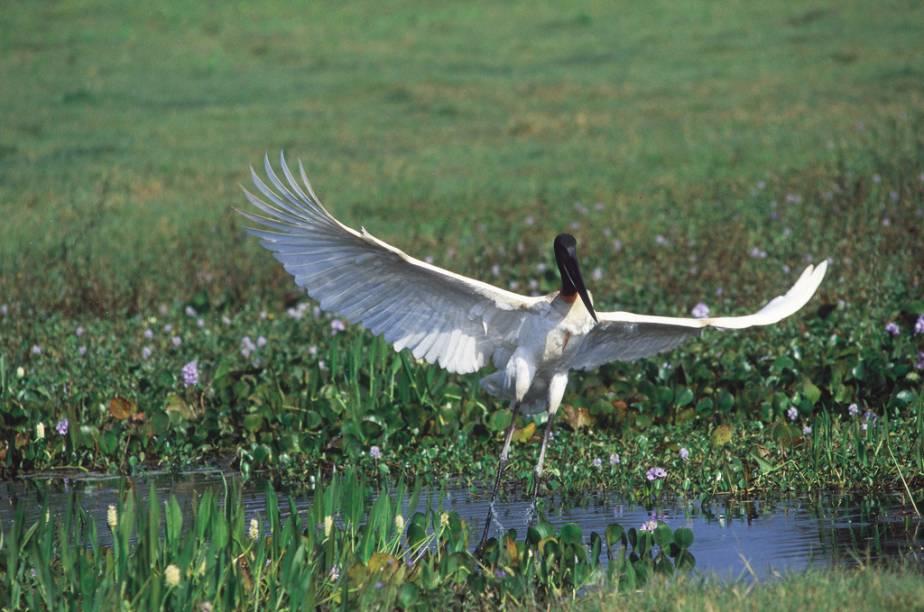 É possível fazer safári por conta própria no Pantanal Norte (MT). Quem não quiser pagar pelos passeios das pousadas pode se aventurar na Rodovia Transpantaneira, e observar aves como o tuiuiú (símbolo do Pantanal) na beira da estrada. Mas lembre-se de ir no período da seca quando as condições são melhores