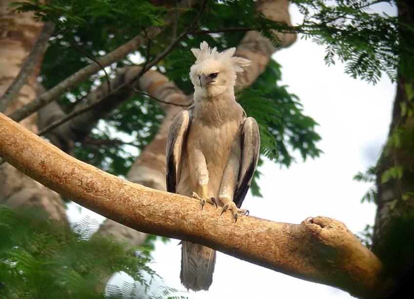 A harpia é a ave de rapina mais poderosa do mundo, e uma das mais desejadas pelos observadores de aves (birdwatchers). Utiliza suas garras, tão grandes quanto as de um urso pardo, para pegar macacos, preguiças e aves de médio porte no dossel da Floresta Amazônica