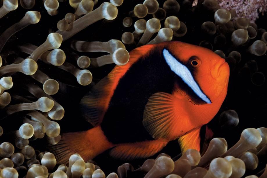 Uma anêmona hospeda muitos peixes, mas só um par reprodutor por vez. A anêmona de pontas bulbosas é a que abriga o maior número de espécies de palhaço: 14. Nela, um <em>Amphiprion frenatus</em> passeia entre tentáculos coloridos por algas, um sinal de saúde