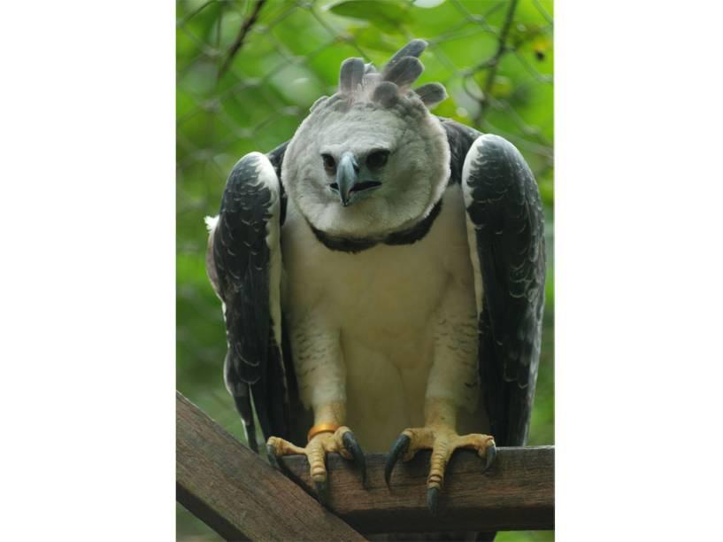 O Bioparque Amazônia em Belém (PA) pode ser de difícil acesso, mas o esforço para chegar vale o esforço, dá para ver de perto animais nativos da Amazônia como o Gavião Real e outros
