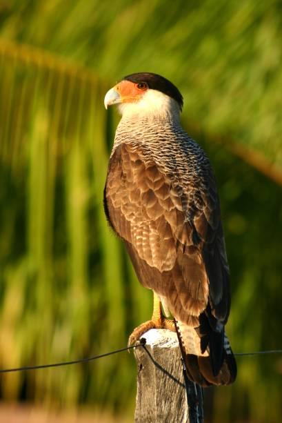Carcará no Pantanal