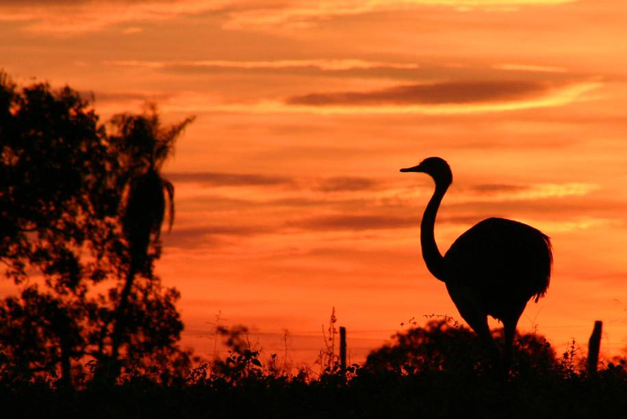 Ema no Pantanal