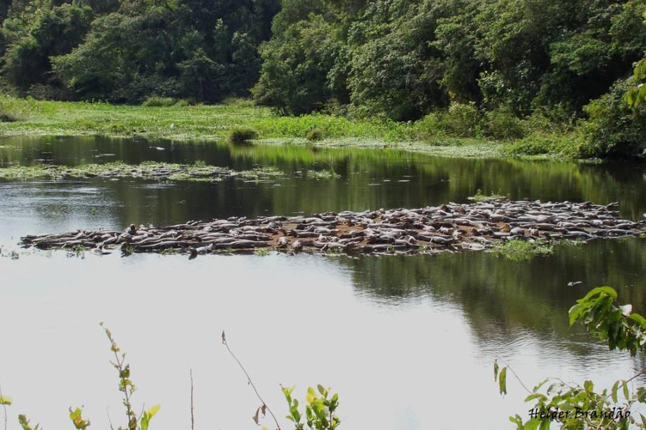 Jacarés num rio da fazenda Refúgio Ecológico de Caiman, em Miranda (MS)