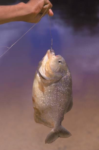 As espécies preferidas dos pescadores são o dourado, os pacus e os peixes de couro. Os menos experientes se divertem com piranhas, piraputangas e piaus Piranha do Pantanal