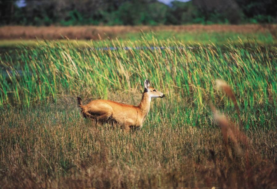Cervo no Pantanal Mato-Grossense