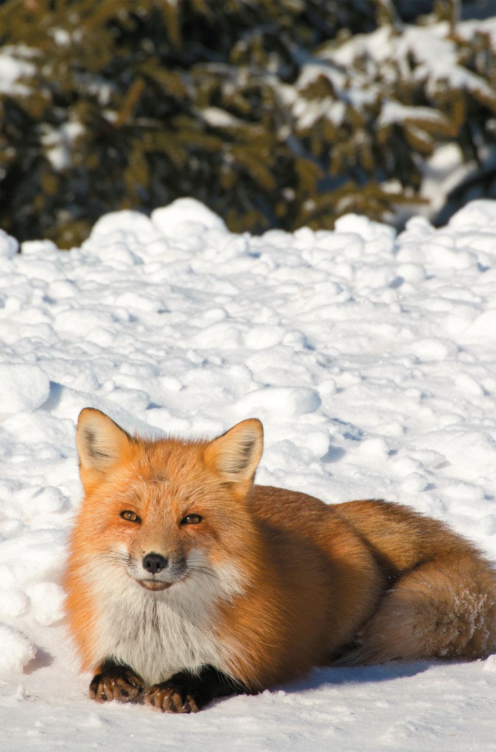 Raposa no Prince Edward Island National Park, no Canadá