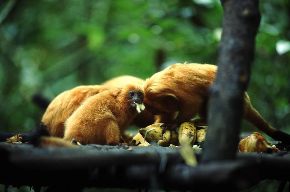 O Mico-leão-dourado, animal da Mata Atlântica ameaçado de extinção, pode ser encontrado na Reserva Biológica de Poço das Antas, Rio de Janeiro (RJ)