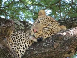 Safári barato no Serengeti, na Tanzânia. Isso existe?
