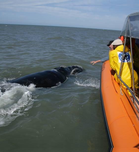 Uma Área de Proteção Ambiental (APA) foi criada para a proteção das baleias-francas em Santa Catarina. Os cetáceos visitam o litoral catarinense para parir e alimentar seus filhotes entre julho e novembro, período em que é possível acompanha-las em um passeio de barco, saindo de Imbituba (SC) ou Garopaba (SC). O Projeto Baleia-Franca orienta os visitantes sobre os melhores pontos de observação