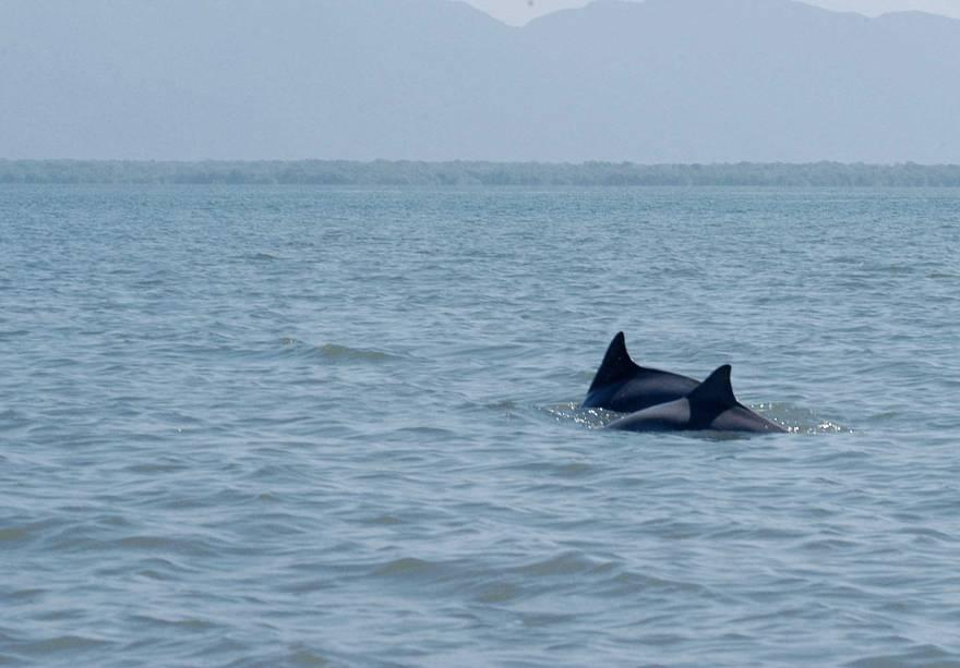 Golfinhos na Baia dos Golfinhos no Parque Estadual da Ilha do Cardos, Cananéia (SP)