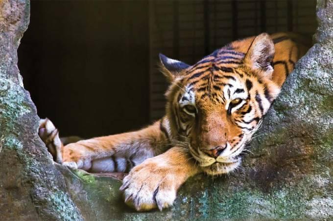Tigre do itatibense Zooparque / Foto Ricardo Rollo