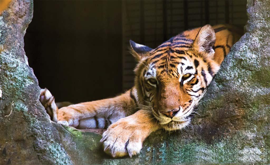Tigre do Zooparque, em Itatiba