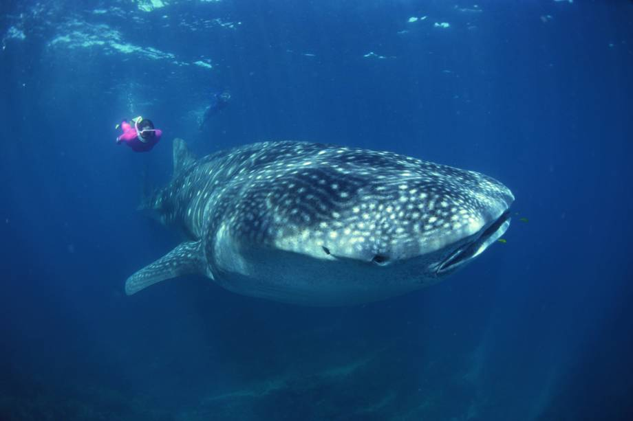 O mergulho com tubarão-baleia é uma das atividades mais intensas de Cancún