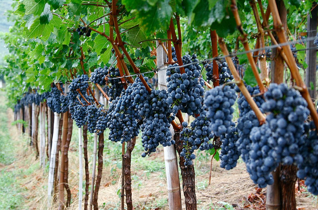 Uvas na vinícola Casa Valduga, em Bento Gonçalves (foto: divulgação)