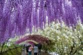 Wisteria túnel de flores no Japão