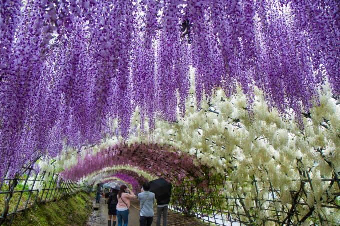 wisteria-tunel-de-flores-no-japao.jpeg