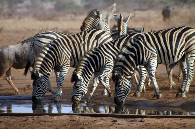 zebras – kruger national park – nelspruit – africa do sul