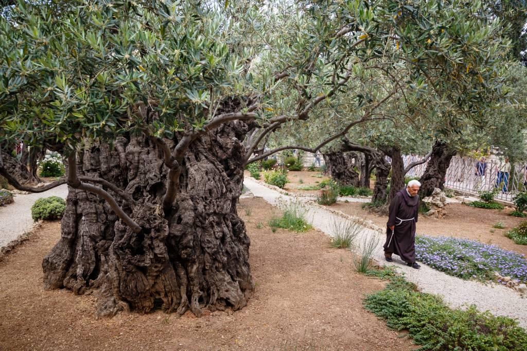 Oliveiras no Getsêmani, Jerusalém, Israel