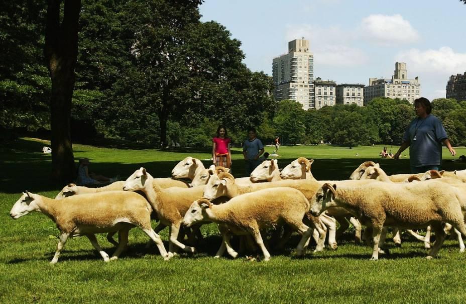 Não, ovelhas já não são vistas no Sheep Meadows do Central Park desde a primeira metade do século passado. As que vemos aqui foram usadas em uma filmagem especial. Hoje a área fica lotada de pessoas tomando banho de sol, crianças brincando e jovens jogando frisbee
